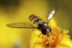 η μύγα αιωρείται Στοκ φωτογραφίες με δικαίωμα ελεύθερης χρήσης