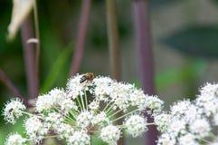 η μύγα αιωρείται Στοκ Εικόνες