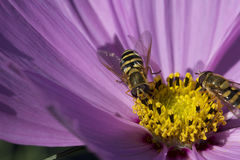 η μύγα αιωρείται Στοκ φωτογραφία με δικαίωμα ελεύθερης χρήσης
