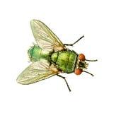 η μύγα απομόνωσε το λευκό Στοκ Εικόνα