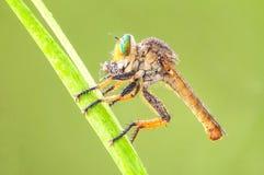 Η μύγα ληστών τρώει στοκ εικόνα με δικαίωμα ελεύθερης χρήσης