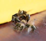 Η μύγα μελισσών στην κυψέλη, κλείνει επάνω στοκ φωτογραφίες με δικαίωμα ελεύθερης χρήσης