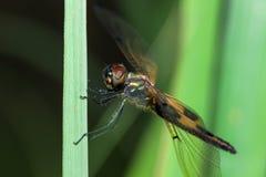 Η μύγα δράκων τιγρών Στοκ φωτογραφία με δικαίωμα ελεύθερης χρήσης