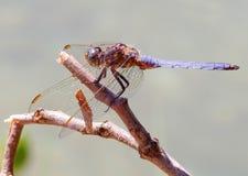 Η μύγα δράκων Στοκ Φωτογραφίες
