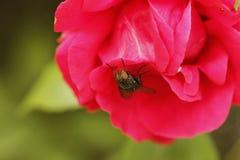 Η μύγα σε ένα κόκκινο αυξήθηκε πέταλα Στοκ Εικόνες