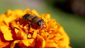 Η μύγα το /Eristalis tenax/κηφήνων είναι σε ένα μεξικάνικο marigold λουλούδι του /Tagetes erecta/ απόθεμα βίντεο