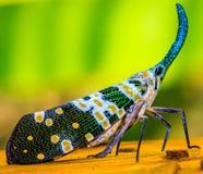 Η μύγα φαναριών Στοκ Εικόνα