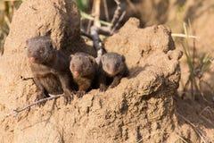 Η νάνα mongoose οικογένεια απολαμβάνει την ασφάλεια ενός λαγουμιού Στοκ Φωτογραφία