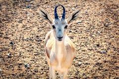 Η νέα αντιλόπη εξετάζει τη κάμερα σε ένα πάρκο σαφάρι στο νησί του Sir Bani Yas, Ηνωμένα Αραβικά Εμιράτα στοκ εικόνες
