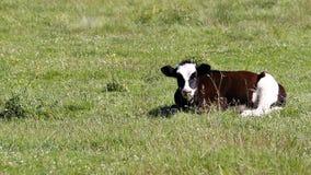 Η νέα βοσκή αγελάδων στο λιβάδι, μασά να βρεθεί στη χλόη απόθεμα βίντεο