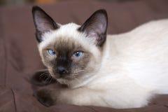Η νέα γάτα, γατάκι, ασιατική ομάδα του Σιάμ, Mekong bobtail βρίσκεται σε μια κάλυψη Στοκ φωτογραφία με δικαίωμα ελεύθερης χρήσης