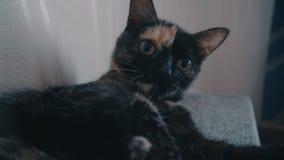 Η νέα γάτα παίζεται απόθεμα βίντεο
