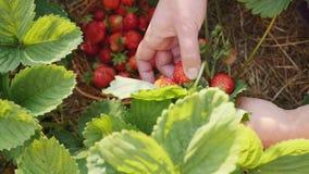 Η νέα γυναίκα δίνει τη φράουλα επιλογής στον κουζίνα-κήπο φιλμ μικρού μήκους