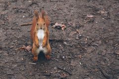 Η νέα γυναίκα ταΐζει το σκίουρο στο δάσος φθινοπώρου Στοκ εικόνα με δικαίωμα ελεύθερης χρήσης