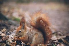 Η νέα γυναίκα ταΐζει το σκίουρο στο δάσος φθινοπώρου Στοκ φωτογραφία με δικαίωμα ελεύθερης χρήσης