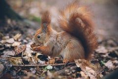 Η νέα γυναίκα ταΐζει το σκίουρο στο δάσος φθινοπώρου Στοκ Φωτογραφία