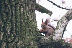 Η νέα γυναίκα ταΐζει το σκίουρο στο δάσος φθινοπώρου Στοκ Εικόνες