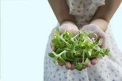 η νέα φυτική σαλάτα εγκαταστάσεων ηλίανθων δίνει την έννοια Στοκ εικόνες με δικαίωμα ελεύθερης χρήσης