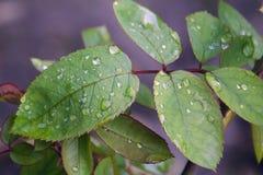 Η Νίκαια αυξήθηκε φύλλα Στοκ Φωτογραφίες