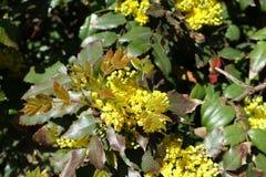 Η νεολαία φεύγει και ανθίζει του aquifolium Mahonia Στοκ Φωτογραφία