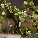 Η νεολαία φεύγει στους κλάδους του δέντρου της Apple Στοκ Φωτογραφία
