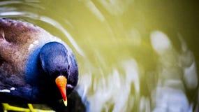 Η νεροκοτσέλα κάτω από το νερό Στοκ Φωτογραφίες