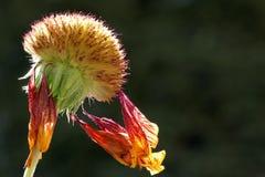 Η νοτιοαφρικανική Daisy στοκ εικόνα με δικαίωμα ελεύθερης χρήσης