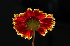Η νοτιοαφρικανική Daisy στοκ εικόνες