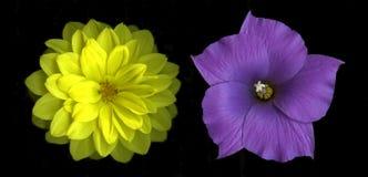 η ντάλια ανθίζει hibiscus Στοκ φωτογραφίες με δικαίωμα ελεύθερης χρήσης