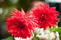 η ντάλια όρων ανθίζει το φυσικό κόκκινο Στοκ Εικόνα