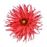 η ντάλια όρων ανθίζει το φυσικό κόκκινο Στοκ Εικόνες