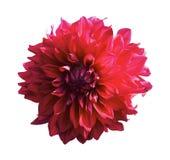 η ντάλια όρων ανθίζει το φυσικό κόκκινο Στοκ φωτογραφία με δικαίωμα ελεύθερης χρήσης