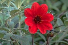 η ντάλια όρων ανθίζει το φυσικό κόκκινο στοκ εικόνες με δικαίωμα ελεύθερης χρήσης