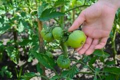 Η ντομάτα που ψεκάζεται με το θειικό άλας χαλκού αυτό είναι πρόληψη του phytophthora Στοκ εικόνα με δικαίωμα ελεύθερης χρήσης
