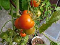 Η ντομάτα Στοκ Φωτογραφία