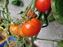 Η ντομάτα Στοκ εικόνες με δικαίωμα ελεύθερης χρήσης