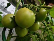 Η ντομάτα Στοκ Εικόνα