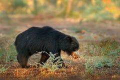 Η νωθρότητα αντέχει, ursinus Melursus, εθνικό πάρκο Ranthambore, Ινδία Η άγρια νωθρότητα αντέχει το βιότοπο φύσης, φωτογραφία άγρ Στοκ Φωτογραφία
