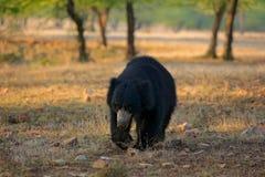 Η νωθρότητα αντέχει, ursinus Melursus, εθνικό πάρκο Ranthambore, Ινδία Η άγρια νωθρότητα αντέχει το βιότοπο φύσης, φωτογραφία άγρ Στοκ Εικόνα