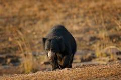 Η νωθρότητα αντέχει, ursinus Melursus, εθνικό πάρκο Ranthambore, Ινδία Η άγρια νωθρότητα αντέχει το βιότοπο φύσης, φωτογραφία άγρ Στοκ Εικόνες