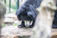 Η νωθρότητα Ασιάτης αντέχει σε έναν ζωολογικό κήπο, Βερολίνο Στοκ φωτογραφία με δικαίωμα ελεύθερης χρήσης