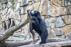 Η νωθρότητα Ασιάτης αντέχει σε έναν ζωολογικό κήπο, Βερολίνο Στοκ εικόνες με δικαίωμα ελεύθερης χρήσης