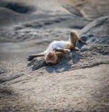 Η ξήρανση πιθήκων μακριά στους βράχους μετά από κολυμπά Στοκ εικόνα με δικαίωμα ελεύθερης χρήσης