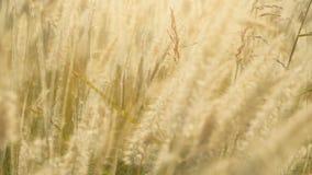 Η ξηρά χλόη φτερών ανάβει στον ήλιο στο θερινό ηλιοβασίλεμα που ταλαντεύεται στον αέρα Μικρό βάθος του πεδίου απόθεμα βίντεο