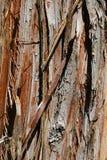 Η ξύλινη σύσταση φλοιών του κωνοφόρου δέντρου Cryptomeria Japonica, κάλεσε επίσης το ιαπωνικό πεύκο Sugi, τον ιαπωνικό κόκκινος-κ Στοκ Εικόνα