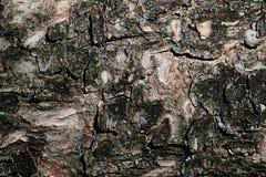 Η ξύλινη σύσταση φλοιών του σερνμένος πεύκου Mugo πεύκων κωνοφόρων δέντρων, κάλεσε επίσης το νάνο mountainpine ή το πεύκο mugo Στοκ φωτογραφία με δικαίωμα ελεύθερης χρήσης