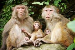 η οικογένεια βραχιόνων doesn έχει αημένη την κατσίκι μητέρα πιθήκων κάθεται το τ στοκ φωτογραφίες με δικαίωμα ελεύθερης χρήσης