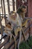 η οικογένεια μωρών καλλωπίζει τη μητέρα πιθήκων macaque της Στοκ εικόνα με δικαίωμα ελεύθερης χρήσης