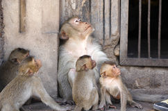 η οικογένεια μωρών καλλωπίζει τη μητέρα πιθήκων macaque της Στοκ Φωτογραφίες