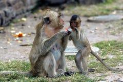 η οικογένεια μωρών καλλωπίζει τη μητέρα πιθήκων macaque της Στοκ φωτογραφία με δικαίωμα ελεύθερης χρήσης
